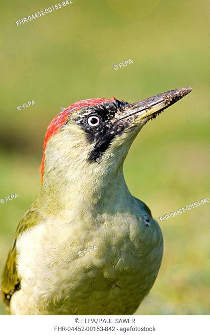 Green Woodpecker Picus viridis adult female, with mud on beak from digging in ground, Suffolk, England