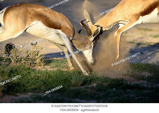 Springbok (Antodorcas marsupialis), fighting, Kgalagadi Transfrontier Park in rainy season, Kalhari Desert, South Africa/Botswana