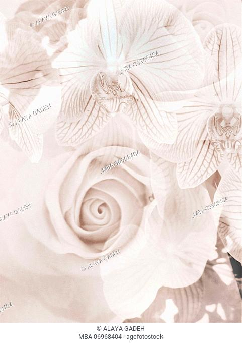 photomontage, Orchid, Rose, Flowers, Detail