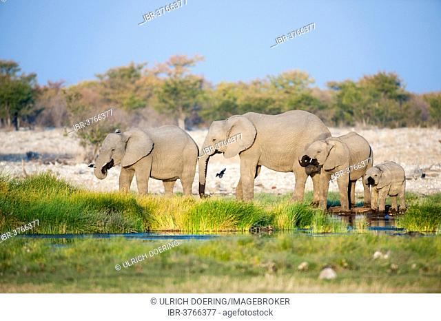 African Elephants (Loxodonta africana), females and calf drinking at Rietfontein waterhole, Etosha National Park, Namibia