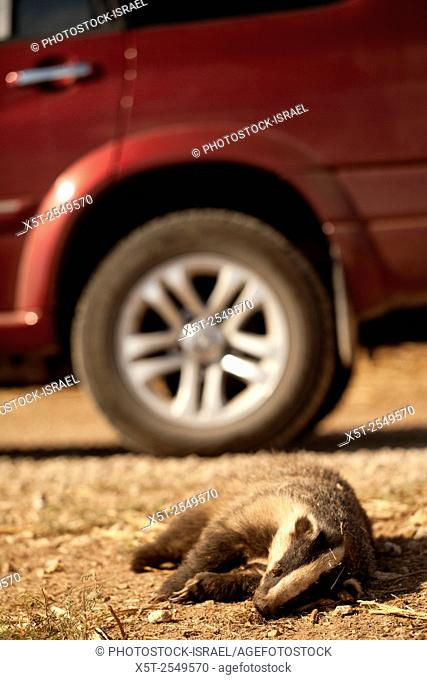 Dead European badger (Meles meles) at the side of a road. The European badger is carnivorous, feeding mainly on earthworms which it seeks out in mild and damp...