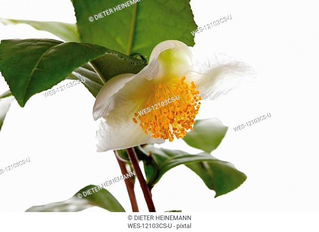 Tea Plant Camellia sinensis, close-up