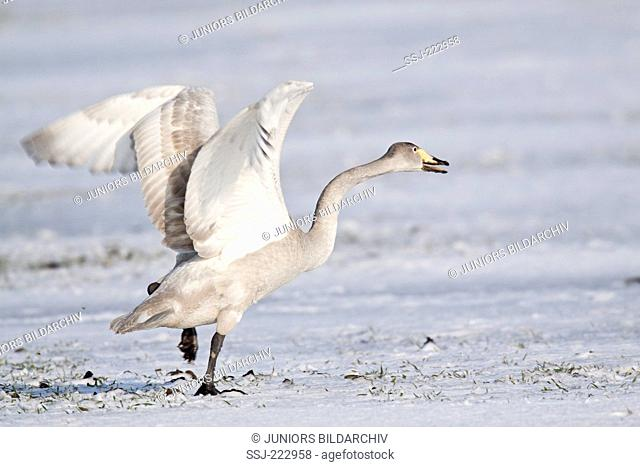 Whooper Swan (Cygnus cygnus) cygnet standing wingsflapping on a snow covered meadow standing on a snowy meadow during the migration, Schleswig-Holstein, Germany
