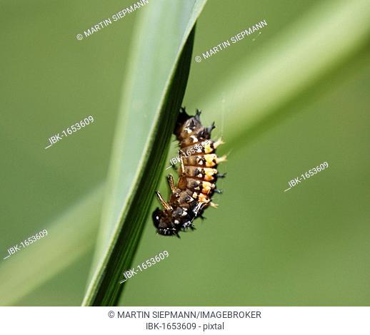 Beetle larva before pupation, Asian Ladybug (Harmonia axyridis), Upper Bavaria, Bavaria, Germany, Europe