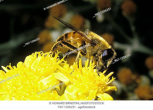 Bee Apis mellifera on yellow blossom