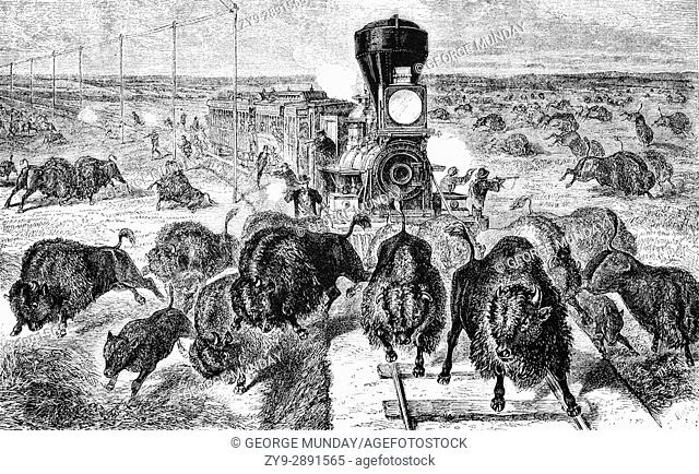Shooting buffaloes (or Bison) on the Kansas - Pacific Railway, United States of America
