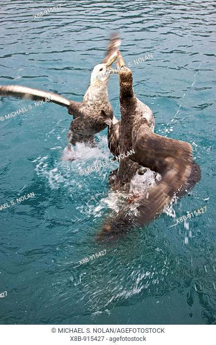 Southern Giant Petrel Macronectes giganteus and Northern Giant Petrel Macronectes halli tearing apart an Antarctic fur seal pup in the water at Grytviken on...