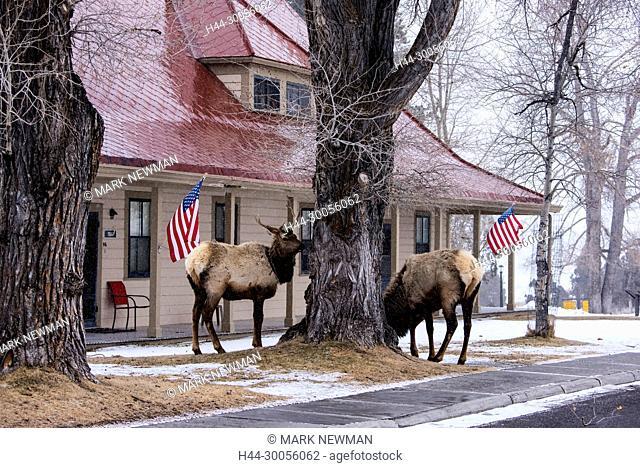 elk at Mammoth Hot Springs-yellowstone national park-wyoming