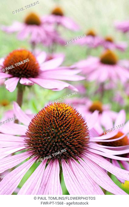 Echinacea, Purple Coneflower, Echinacea purpurea 'Rubinglow', Close up of flowers with mauve coloured petals and spiky texture