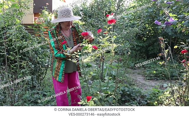 Caucasian senior woman with hat cutting roses in her garden