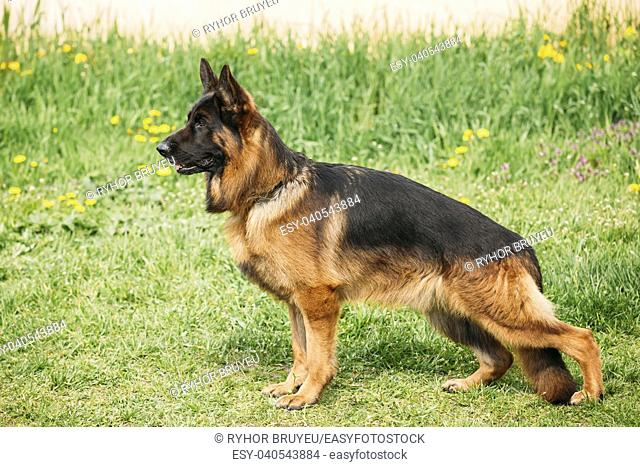 Alsatian Wolf Dog Or German Shepherd Dog Posing At Training Obedience Outdoors On Green Grass. Deutscher Dog