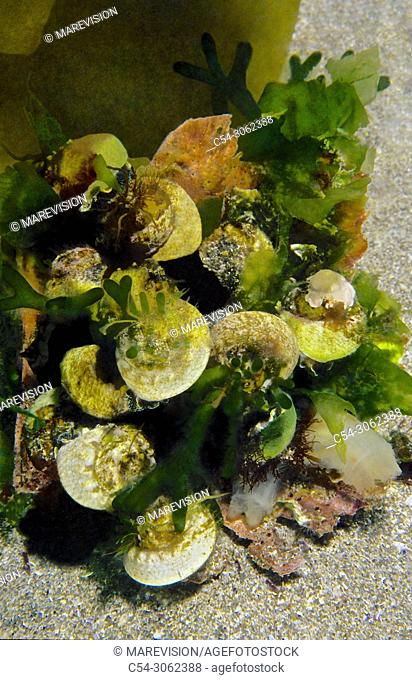 Top Snail. Turban topshell (Gibbula magus). Eastern Atlantic. Galicia. Spain. Europe