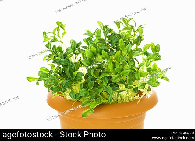 Green seedlings growing in the clay pot