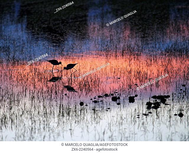 Black-winged stilts (Himantopus himantopus) at flooded rice fields. Ebro River Delta Natural Park, Tarragona province, Catalonia, Spain