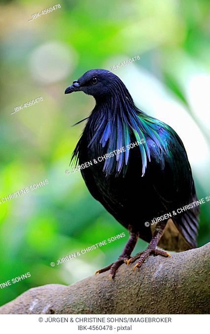 Nicobar Pigeon (Caloenas nicobarica), adult on tree, captive