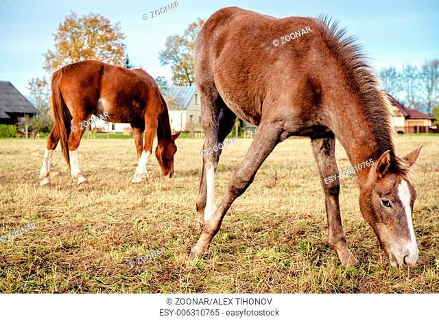 Brown horses feeding outdoors