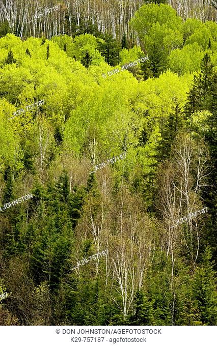 Emerging foliage in aspens and birches in spring, from high viewpoint