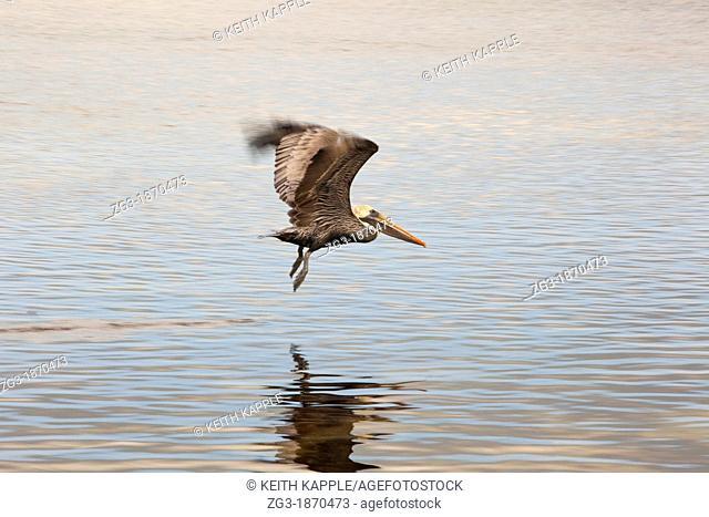 Brown pelican, Pelecanus occidentalis, in flight at Key Largo, Florida, USA