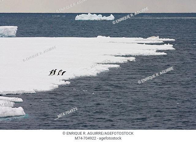 A group of Adelie Penguins Pygoscelis adelaie jumping from the ocean on to the ice, Antarctica