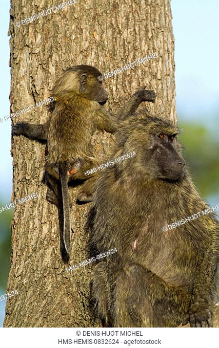 Kenya, Masai Mara National Reserve, Olive baboon (Papio hamadryas anubis), young going down from a tree and his mother