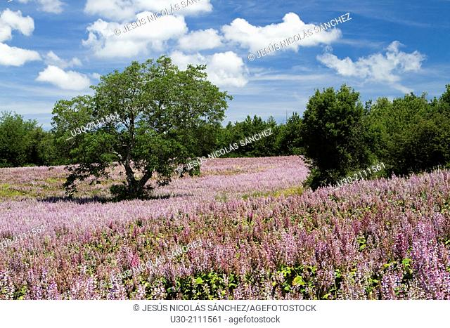 Fields of clary sage Salvia sclarea, in Reves-du-Bion. Forcalquier district, in Alpes-de-Haute-Provence department, Provence-Alpes-Côte d'Azur region, France
