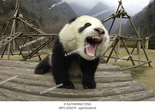 Giant Panda Ailuropoda melanoleuca, endangered, vocalizing and playing on structure, Wolong Nature Reserve, China