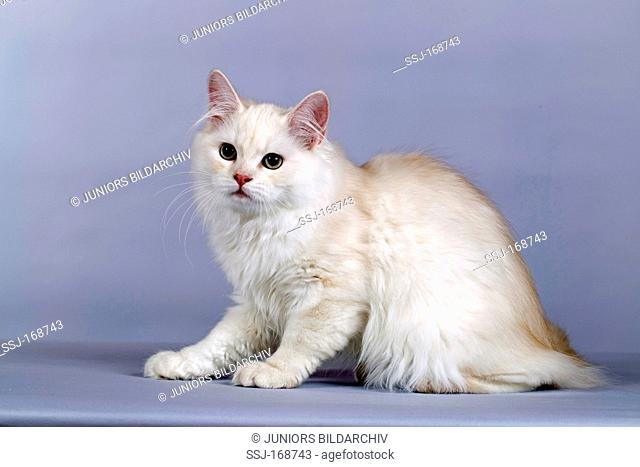 German Angora Cat, sitting. Studio picture against a gray background