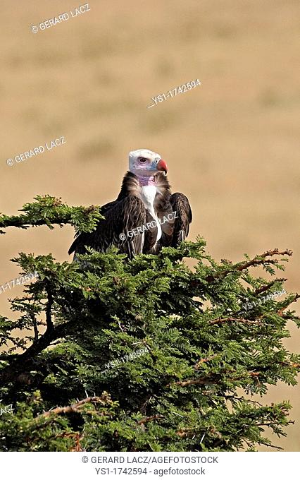 White Headed Vulture, trigonoceps occipitalis, Adult on the Top of a Tree, Masai Mara Park in Kenya