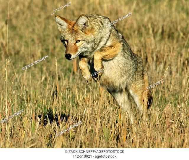 A coyote pouncing on it's prey in the Tetons