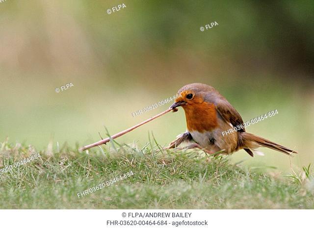 European Robin Erithacus rubecula adult tugging earthworm, on garden lawn
