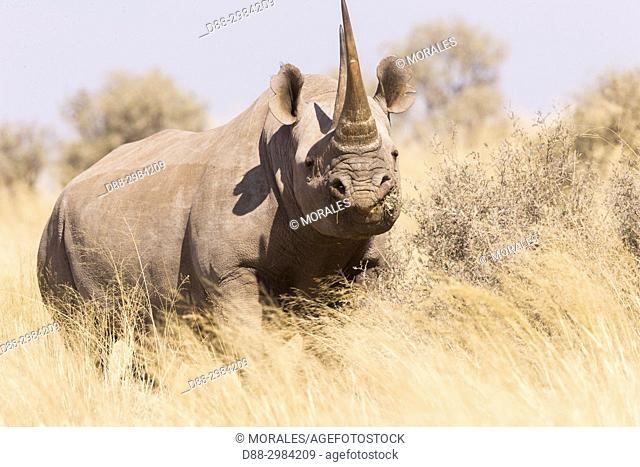 Africa, Southern Africa, South African Republic, Kalahari Desert, Black rhinoceros or hook-lipped rhinoceros (Diceros bicornis), adult female, 3O years old