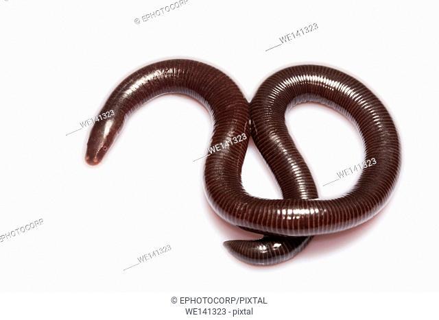 Caecilian, Uraeotyphlus sp, Uraeotyphlidae, Coorg, Karnataka, India