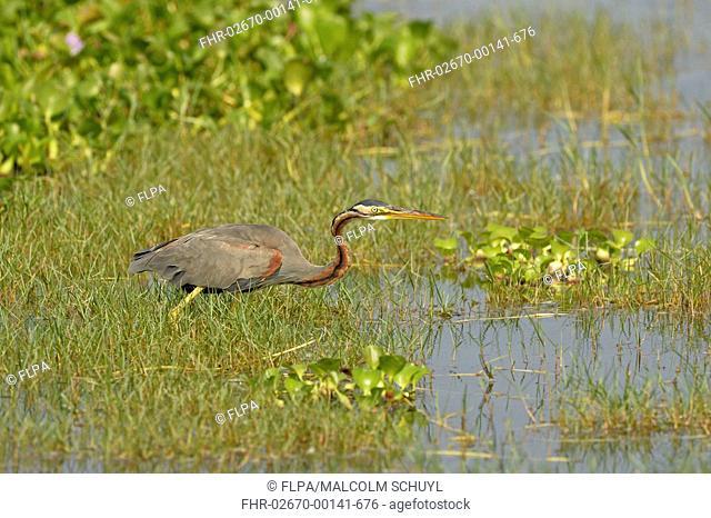 Purple Heron (Ardea purpurea) adult, standing amongst aquatic vegetation, Bundala N.P., Sri Lanka, March