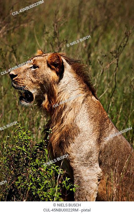 Lion sitting in field