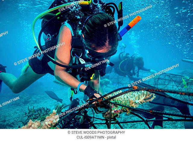 Underwater view of diver fixing a seacrete, (artificial steel reef with electric current), Lombok, Indonesia