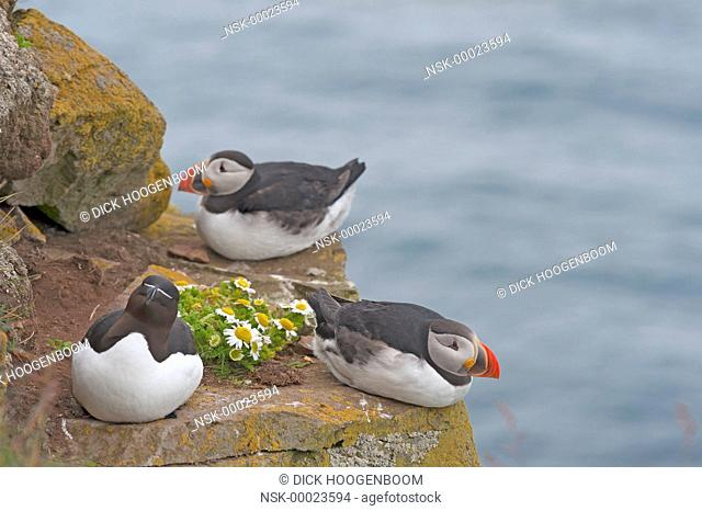 Puffin (Fratercula arctica) and Razorbill (Alca torda) together on a small rock formation with some wild flowers, Iceland, Western fjords, Latrabjarg