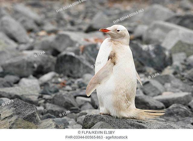 Gentoo Penguin (Pygoscelis papua) albino, adult, standing on rocks, Waterboat Point, Antarctic Peninsula, Antarctica, January