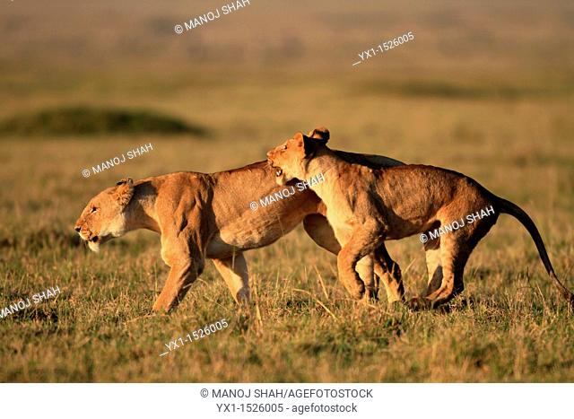 Lions Playing, Masai Mara National reserve, Kenya