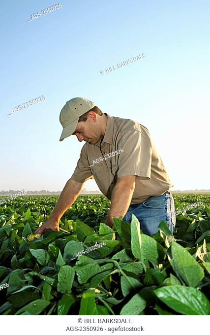 Agriculture - A farmer (grower) examines his mid growth soybean crop at the mid-to-late pod set stage / Arkansas, USA