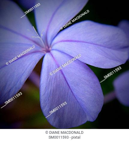 Close up of a plumbago flower with focus on the stamens