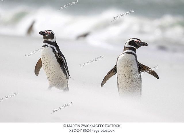 Magellanic Penguin (Spheniscus magellanicus), on beach. South America, Falkland Islands, January
