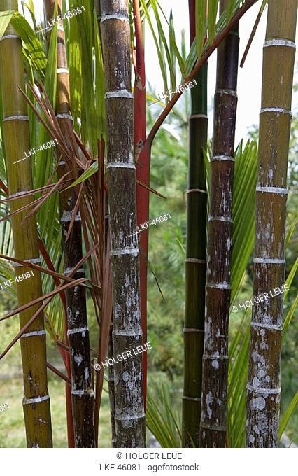 Bamboo on Penang Hill, George Town, Penang, Malaysia, Asia