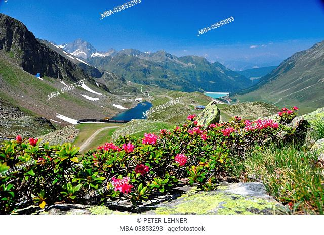 Austria, Tyrol, Sellraintal, Kühtai, mountain panorama, alpine rose blossom