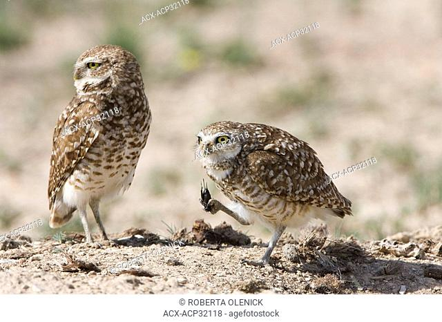Burrowing owl Athene cunicularia, male left and female, at burrow, Pueblo West, Colorado. The female is holding in her talons a field cricket Gryllus sp