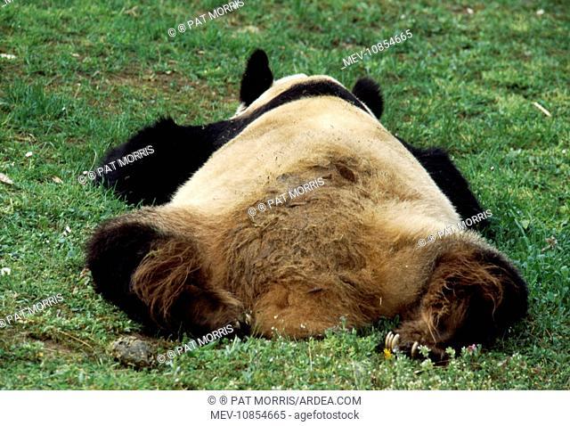 Giant Panda - lies on grass (Ailuropoda melanoleuca). China
