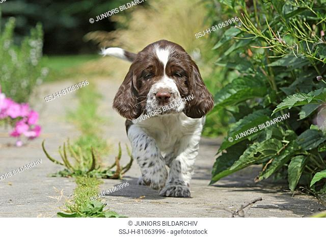 English Springer Spaniel, 7 weeks old puppy Athos walking frontal towards the viewer