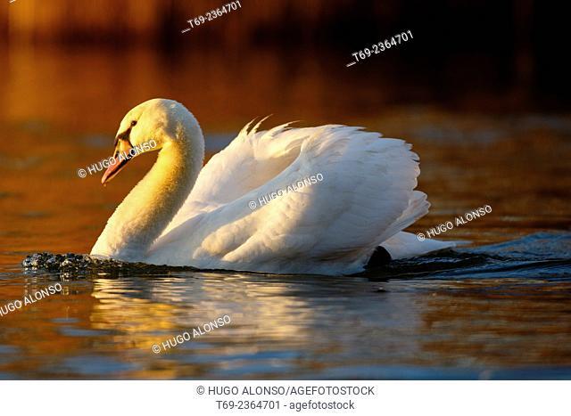 Mute swan Cygnus olor