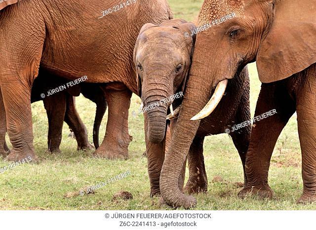 Young Elephant, loxodonta africana, and its sister with tender feelings, Tsavo East National Park, Kenya