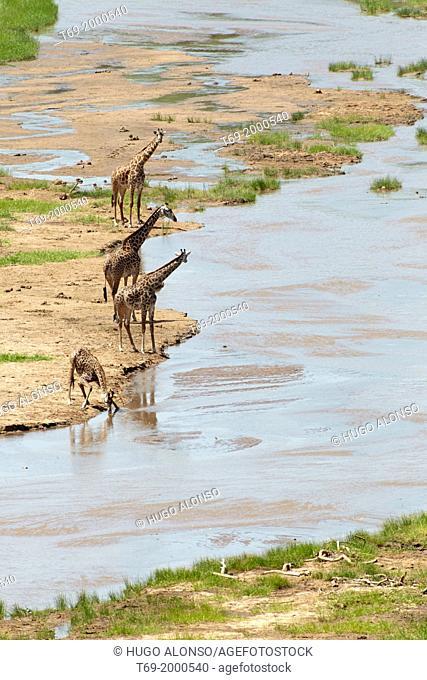 Group of Giraffes. Giraffa camelopardalis. Tarangire National Park. Tanzania