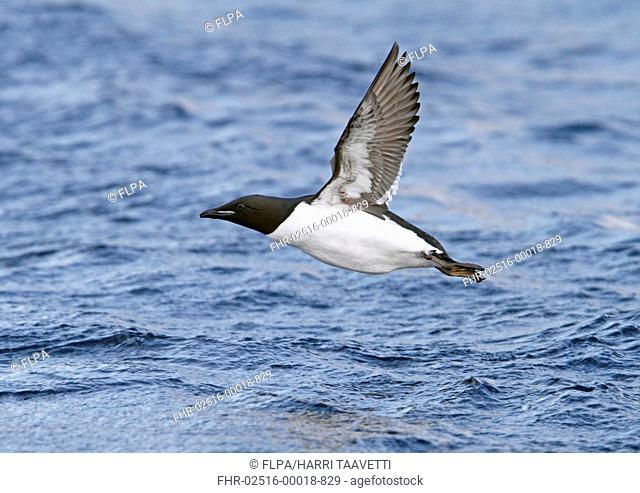 Brunnich's Guillemot Uria lomvia adult, breeding plumage, in flight over sea, Northern Norway, march
